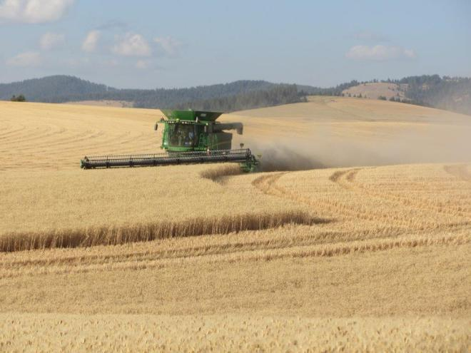 Harvesting wheat on the homeplace