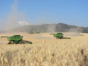 All of our combines working together during wheat harvest.